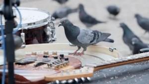 Muzikale duiven