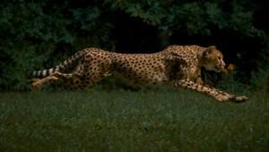 Rennend jachtluipaard in slow motion