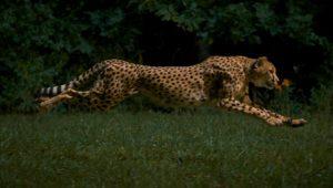 Rennend jachtluipaard in slow-motion