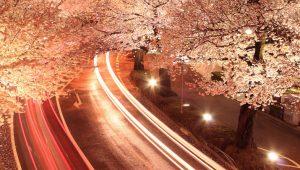 Japanse kersenbloesem bij nacht